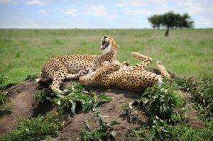 25-David-Lazar-Laughing-Cheetahs